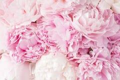 Härlig rosa pionblommabakgrund royaltyfri bild