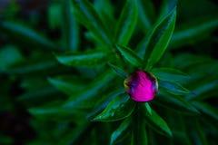 Härlig rosa pionknopp på en mörk bakgrund royaltyfri foto