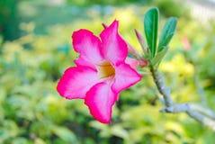 Härlig rosa plumeria Arkivbild