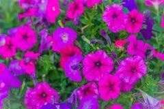 Härlig rosa purpurfärgad petuniablomma på blomsterrabatten för bakgrund Petunior är en av våra populäraste sommarsängkläderväxter arkivfoto
