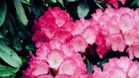 Härlig rosa rhododendron Kameraflyttningarna drar tillbaka på glidaren Färgkorrigering lager videofilmer