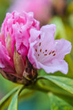 Härlig rosa rhododendronblomma Royaltyfri Bild