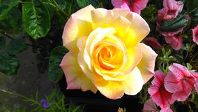 Härlig rosa `-rosmarin`, Arkivfoton