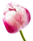 härlig rosa tulpan Arkivfoton