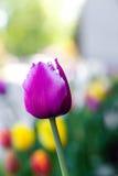 härlig rosa tulpan Flowerbackground gardenflowers Trädgårds- blomma abstrakt bakgrundsvertical Arkivfoton