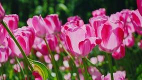 Härlig rosa tulpangungning i vinden Kronblad av blommor tänder solen arkivbilder