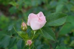 Härlig rosa vildblommadogrose Arkivfoto