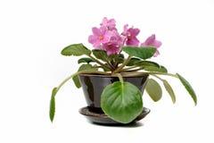 Härlig rosa violet på en vit bakgrund royaltyfri fotografi