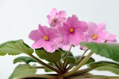 Härlig rosa violet på en vit bakgrund arkivbilder