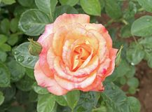 Härlig rosblomma med vattendroppar Fotografering för Bildbyråer