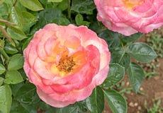 Härlig rosblomma med vattendroppar Royaltyfria Bilder
