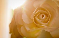 Härlig rosblomma på solnedgången, mjukt foto arkivfoto