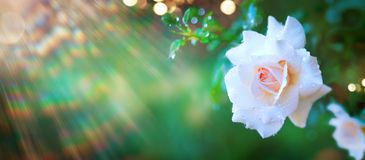 Härlig rosblomma som blommar i sommarträdgård Rosor som utomhus växer, natur som blomstrar blommakonstdesign royaltyfri fotografi