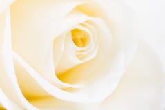 härlig rosewhite Arkivbild