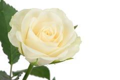 härlig rosewhite Royaltyfri Fotografi