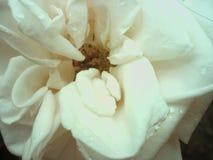 härlig rosewhite Fotografering för Bildbyråer