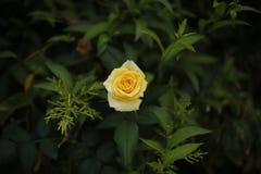 härlig roseyellow Arkivfoto