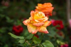 härlig roseyellow Royaltyfri Bild