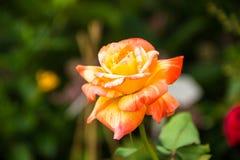 härlig roseyellow Fotografering för Bildbyråer