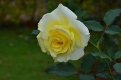 härlig roseyellow Royaltyfria Bilder