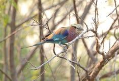 Härlig rullfågel på en stam Royaltyfri Foto