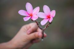Härlig söt rosa Plumeria blommar i handen som blommar Royaltyfria Foton