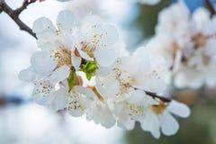 Härlig `-Sakura för körsbärsröd blomning `, närbild Royaltyfri Fotografi