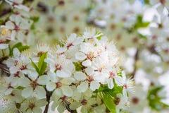 Härlig `-Sakura för körsbärsröd blomning `, närbild Royaltyfria Foton