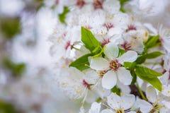 Härlig `-Sakura för körsbärsröd blomning `, närbild Royaltyfri Bild