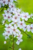 Härlig `-Sakura för körsbärsröd blomning `, närbild Royaltyfria Bilder