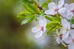 Härlig `-Sakura för körsbärsröd blomning `, närbild Arkivfoton