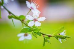 Härlig `-Sakura för körsbärsröd blomning `, närbild Arkivbild
