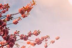 Härlig sakura trädblomning mot blå himmel royaltyfri fotografi