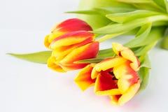 Härlig sammansättning med färgerna av tulporna, på en vit bakgrund royaltyfria bilder