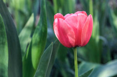 Härlig scharlakansröd tulpan Royaltyfri Foto
