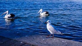 härlig seagul på en sjösida Fotografering för Bildbyråer
