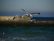 Härlig seagull som flyger över havet Arkivbilder