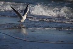 Härlig seagull som flyger över havet Royaltyfria Bilder