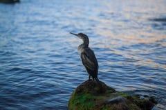 Härlig seascape med kormoran Arkivbild