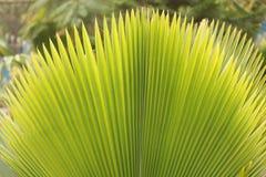 Härlig seende bred öppen palmblad i parkera Royaltyfri Fotografi