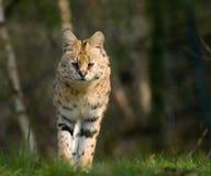 härlig serval Arkivfoto