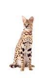 Härlig serval, Leptailurus serval Fotografering för Bildbyråer