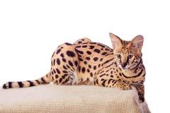 Härlig serval, Leptailurus serval Arkivbilder