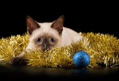 Härlig siamese kattunge i guld- glitter arkivbild