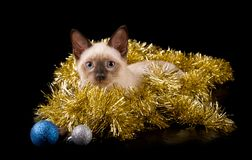 Härlig siamese kattunge i guld- glitter med struntsaker royaltyfri fotografi