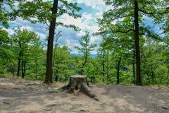 Härlig sikt av den gamla trädstubben i sommarskogen arkivbild