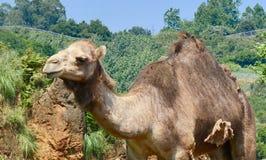 Härlig sikt av en kamel i natur royaltyfri foto