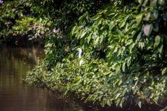 Härlig sikt av en vit Egretta Garzetta för vuxen fågel på trädet i ett damm arkivfoton