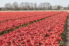 Härlig sikt av ett holländskt tulpanfält arkivbild