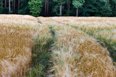 Härlig sikt av fältet a på en solig dag stäng sig upp vete Royaltyfri Foto